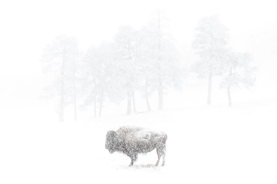 The Photograph - The Great White Buffalo by Brian Gustafson