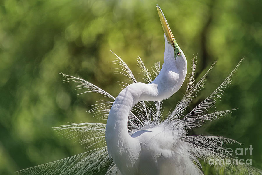 The Great White Egret Mating Dance by Mary Lou Chmura