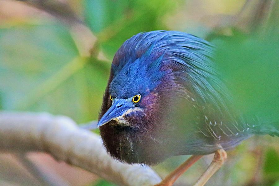 The Green Heron at Ding II by Michiale Schneider