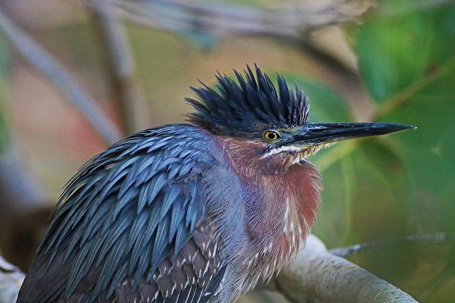 The Green Heron at Ding III by Michiale Schneider