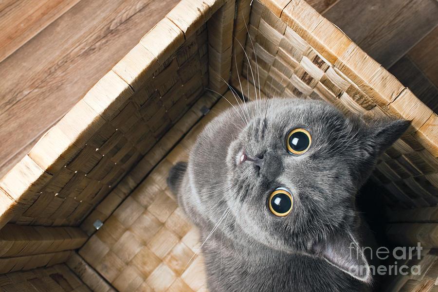 Catnip Photograph - The Grey Cat British Breed With Large by Anna Bolotnikova