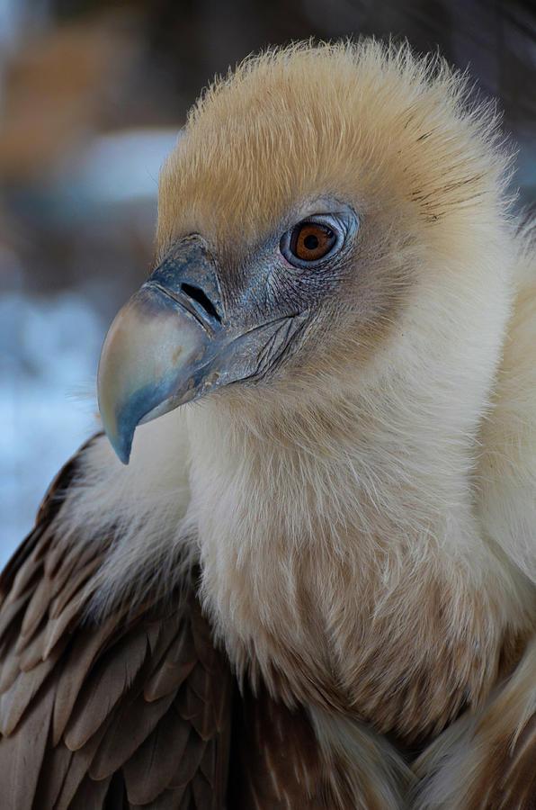 The Griffon Vulture by Darren Weeks
