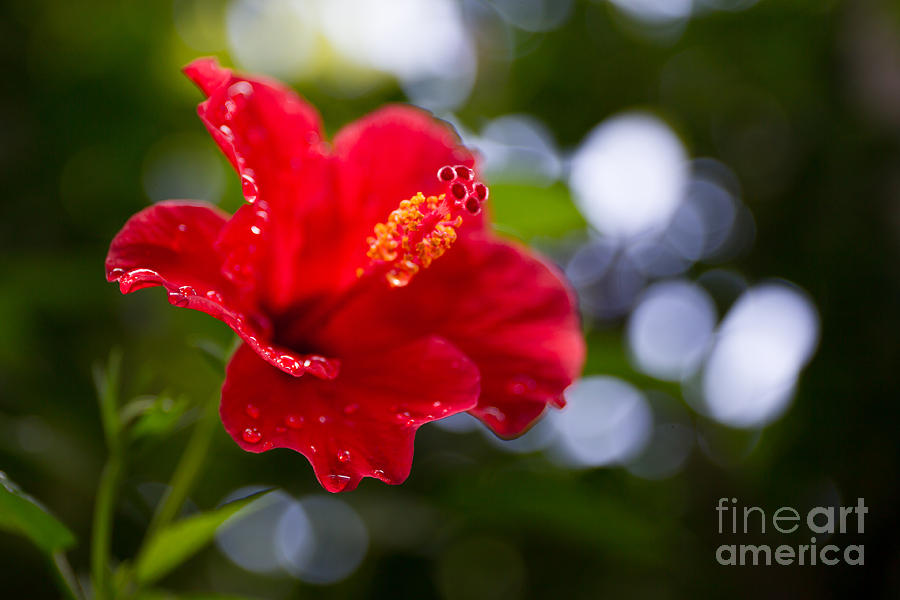 Beauty Photograph - The Hibiscus Flower Close Up by Chayatorn Laorattanavech