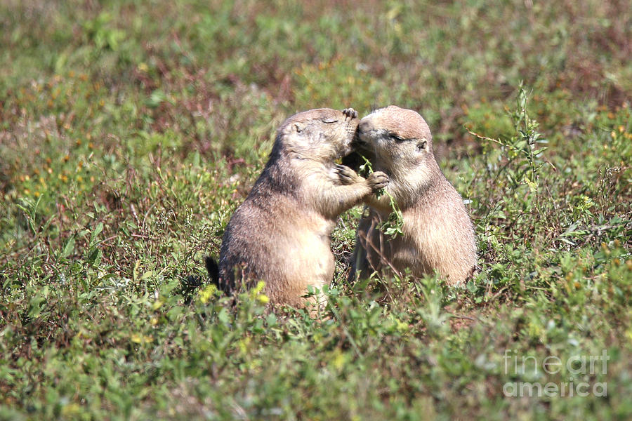 The Kiss Kissing Prairie Dogs Photograph