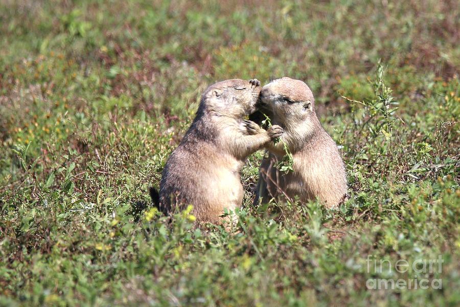 The Kiss Kissing Prairie Dogs  by Nikki Vig