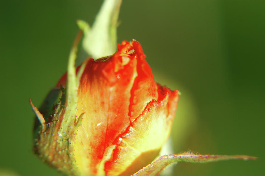 The Kissing Rose Photograph