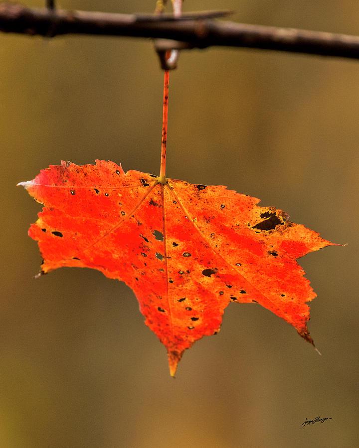 The Last Maple Leaf by Jurgen Lorenzen