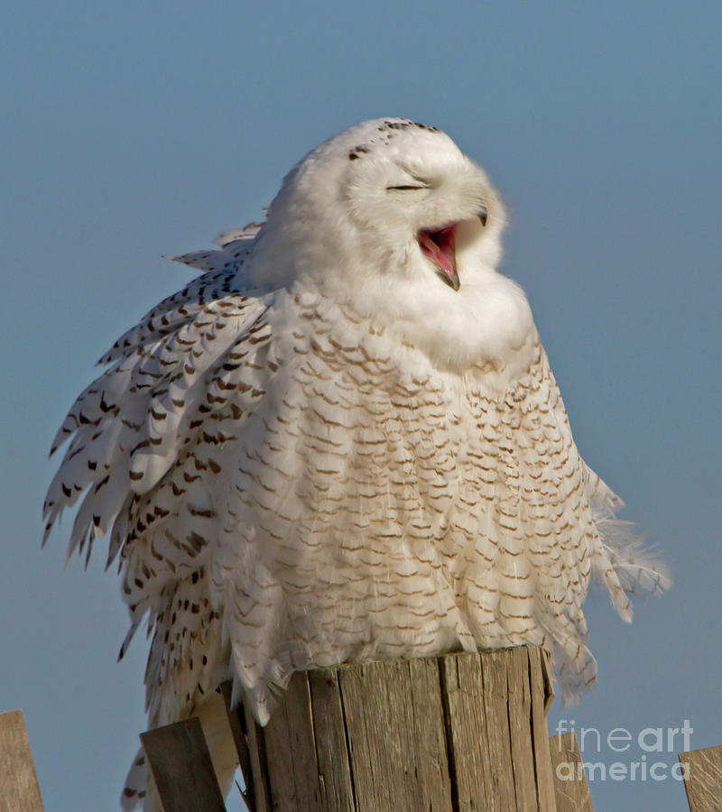 The Laughing Snowy by Butch Lombardi