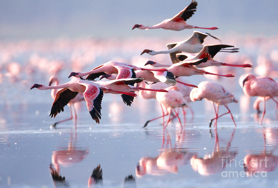 Pink Photograph - The Lesser Flamingo Which Is The Main by Worldclassphoto