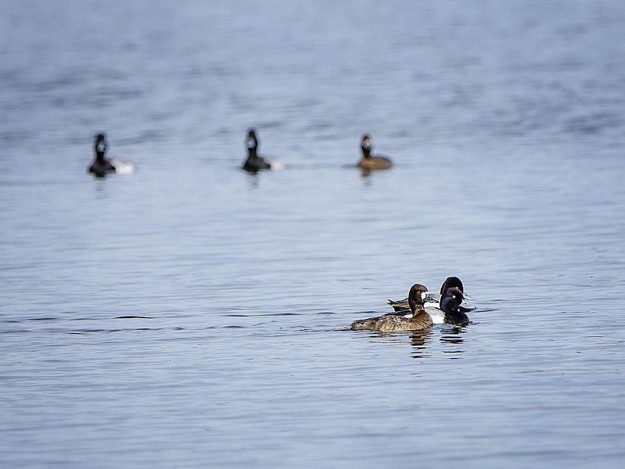 The Lesser Scaups by Susan McMenamin