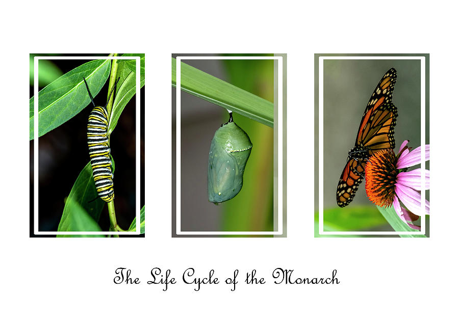The Life Cycle Of The Monarch by Cathy Kovarik
