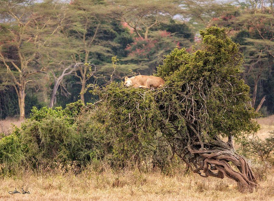 The Lioness Sleeps by Joan Davis