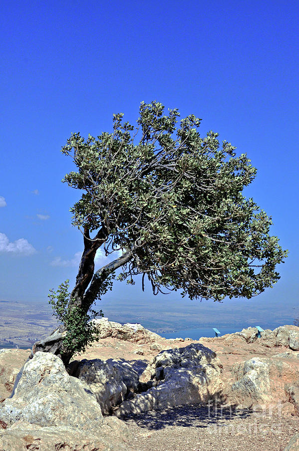 Tree Photograph - The Lone Carob Tree by Lydia Holly