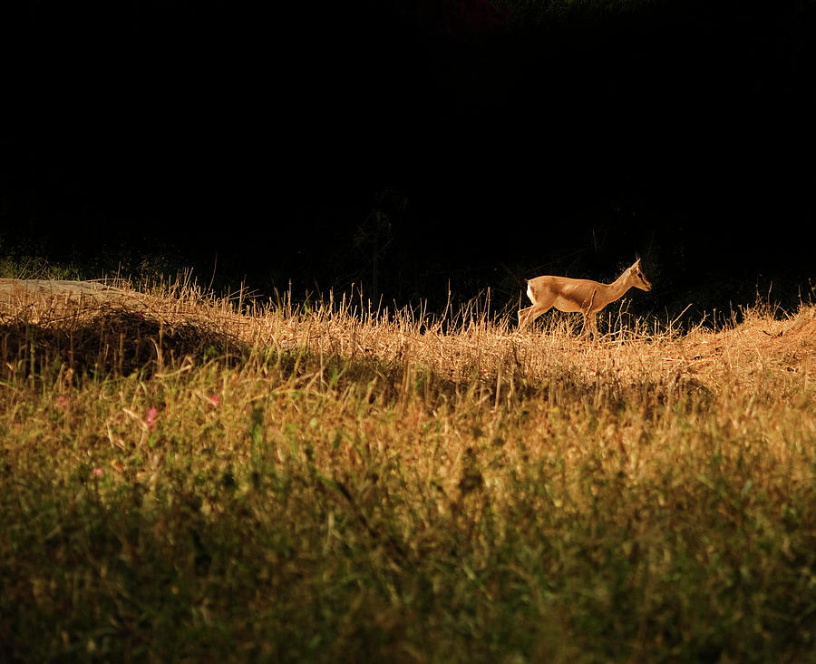 The Lonely Deer Photograph by Arindam Sen Photography