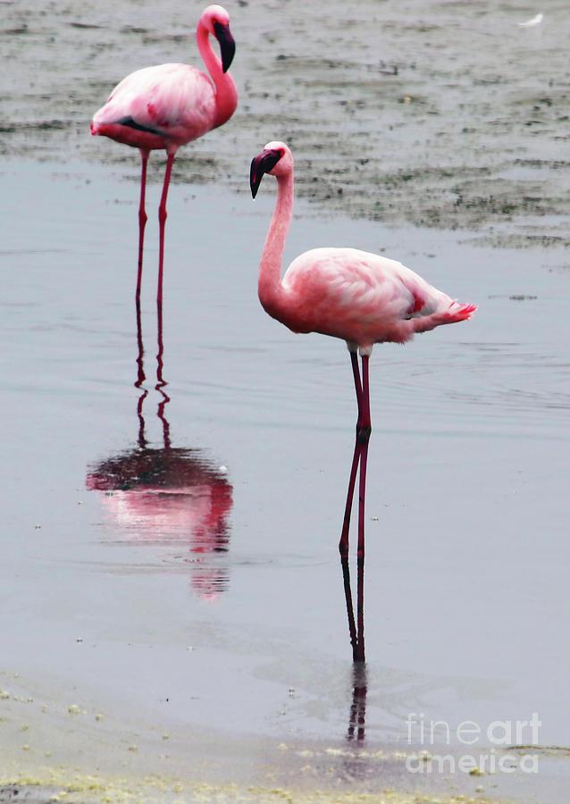 Flamingo Photograph - The Longest Legs by Jennie MacDonald