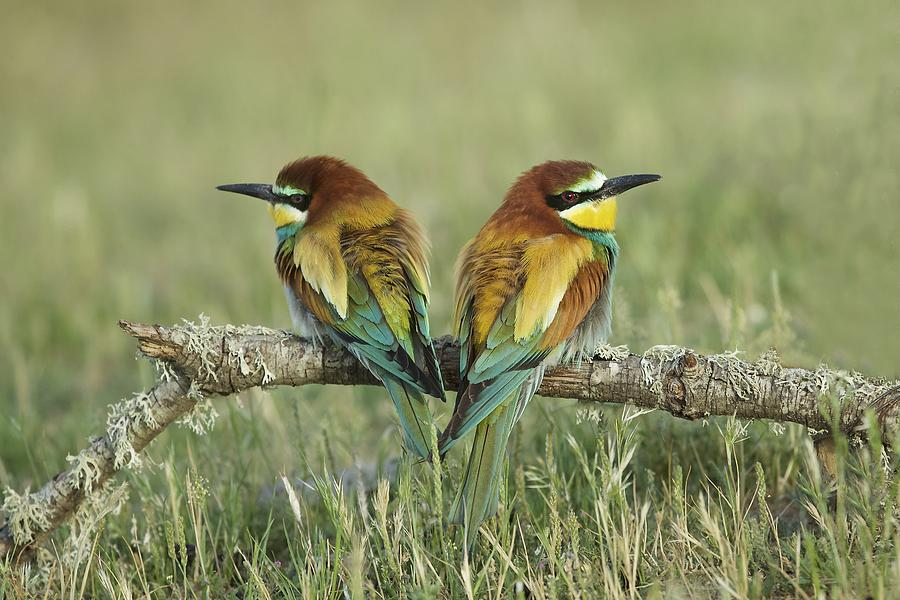 Bee Eater Photograph - The Look-outs by Ray Cooper