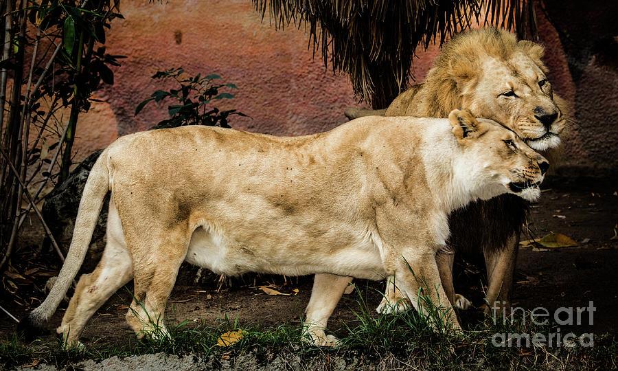 The Loving Lion Couple by Julian Starks