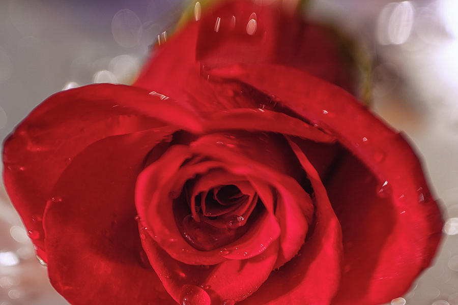 Valentine Photograph - The Magic Of Roses by Marnie Patchett
