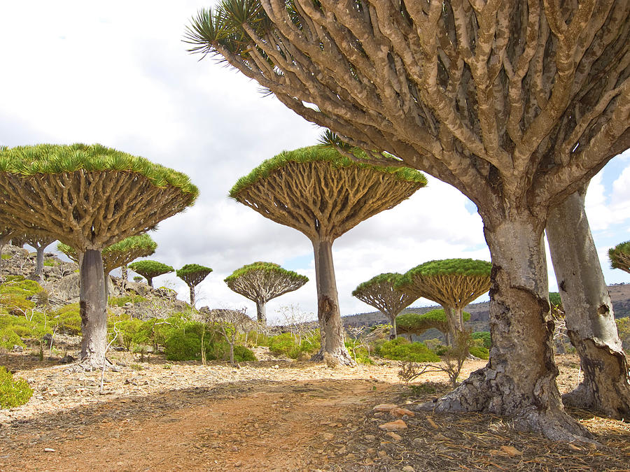 The Magnificent Dragon Trees Looking Up Photograph by Davorlovincic