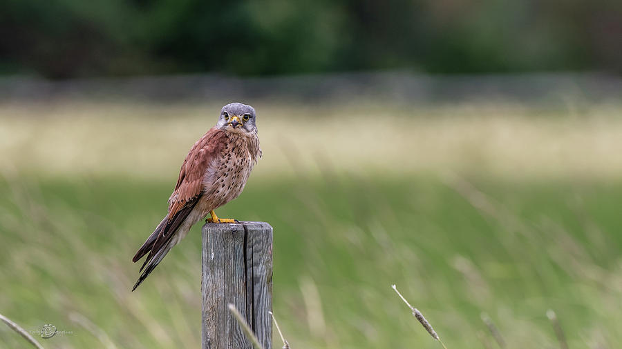 The male Kestrel on his watch by Torbjorn Swenelius