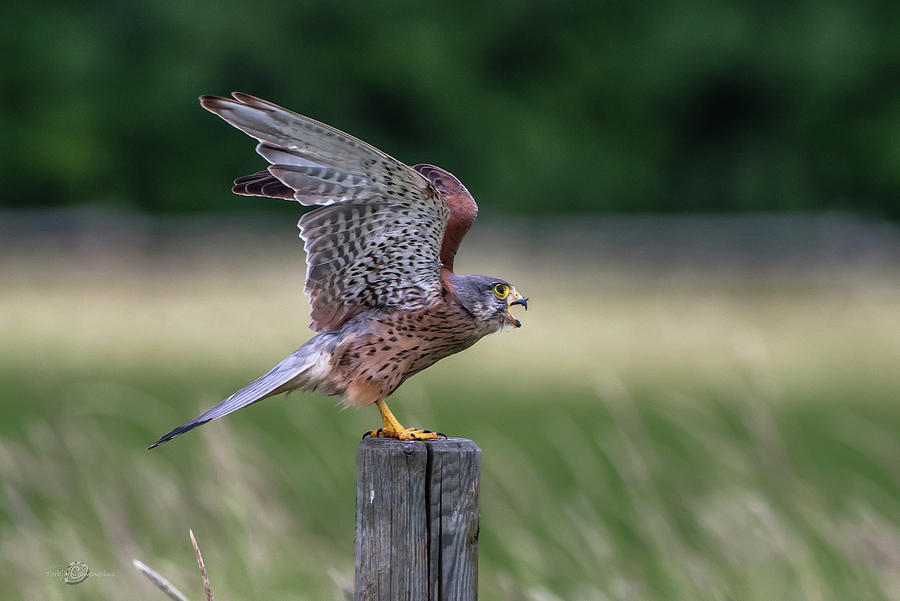 The male Kestrel on his way by Torbjorn Swenelius
