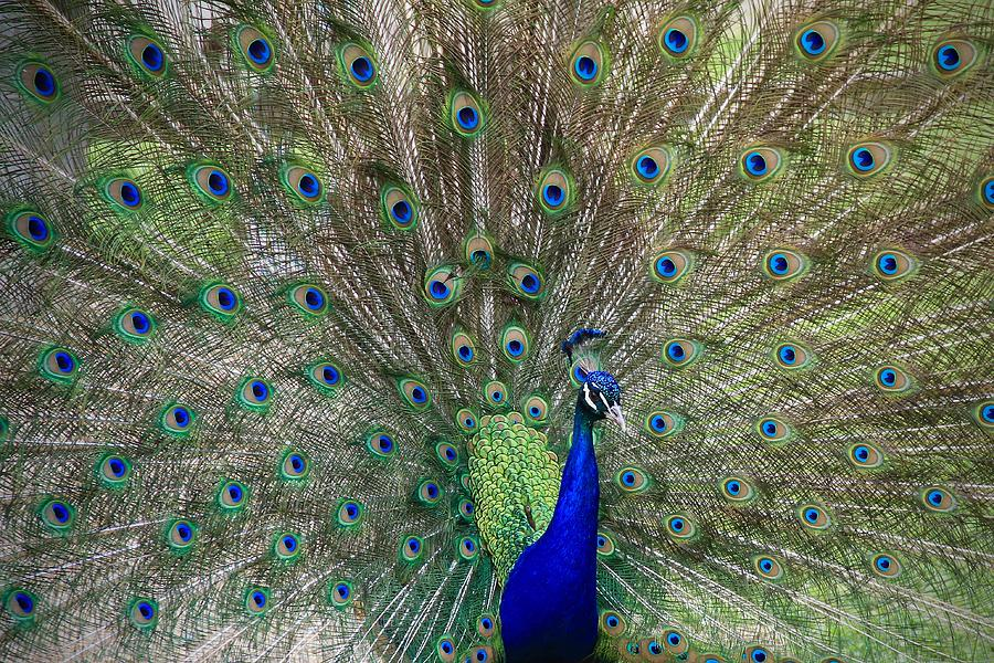 The Male Peacock by Ed  Riche