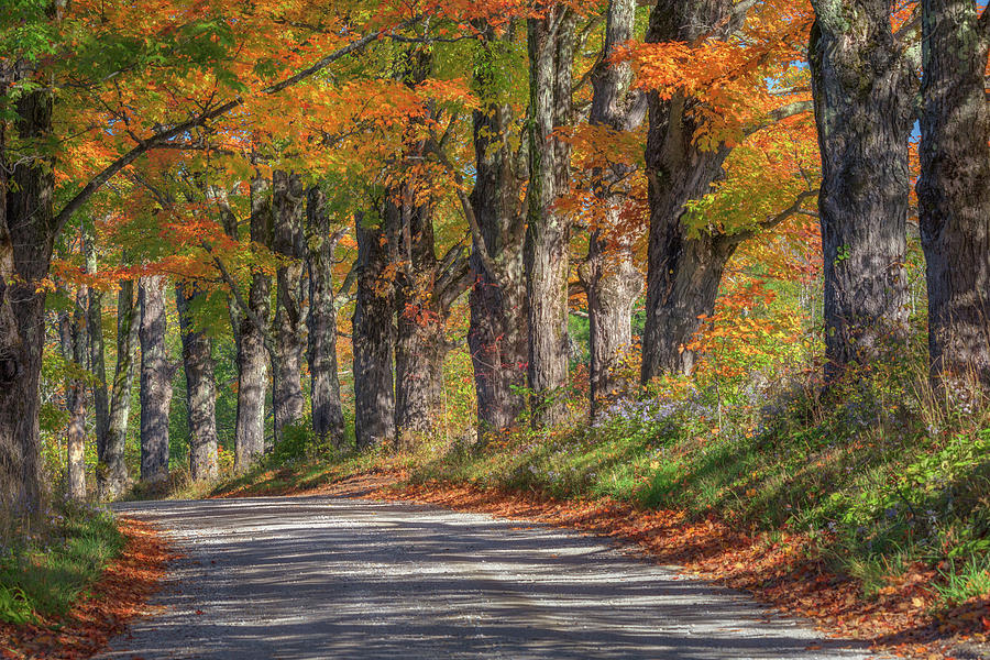 The Maple Tree Lane by Kristen Wilkinson