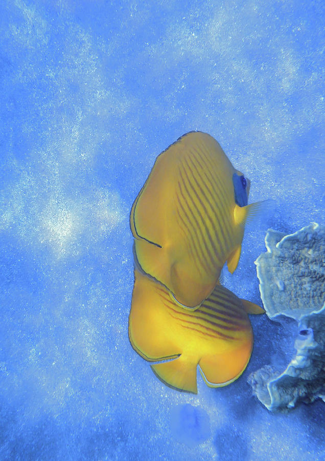 The Masked Butterflyfish Blue by Johanna Hurmerinta