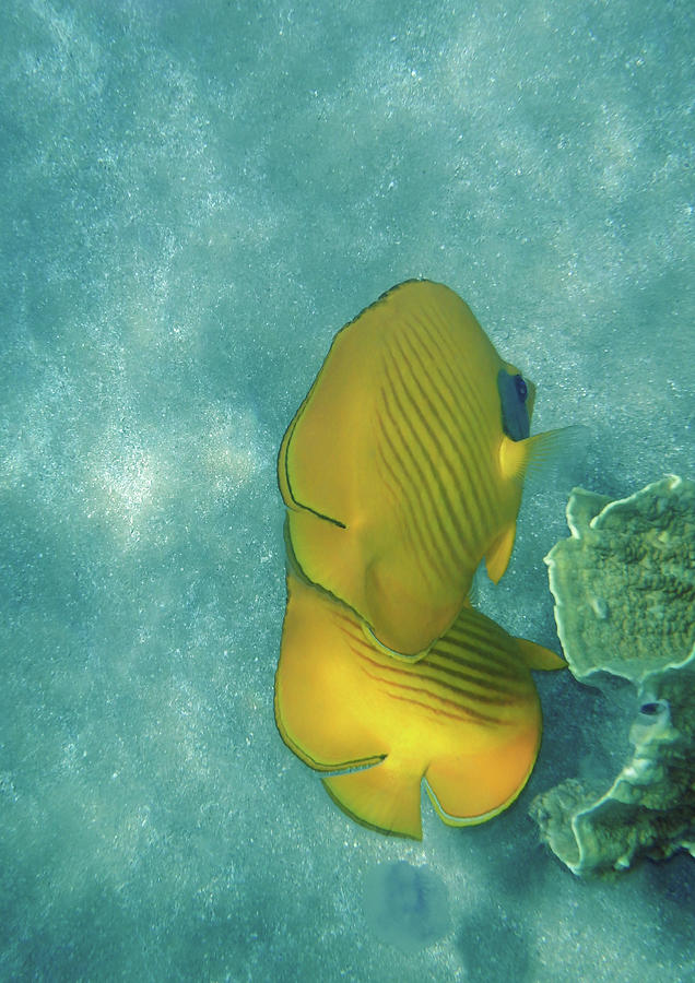The Masked Butterflyfish Turquoise by Johanna Hurmerinta