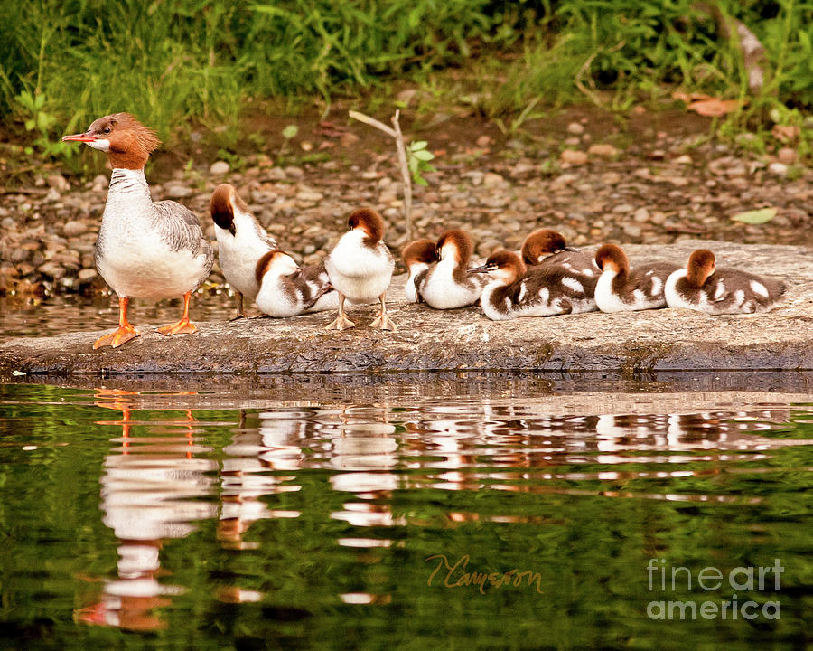 The Merganser Team by Tom Cameron