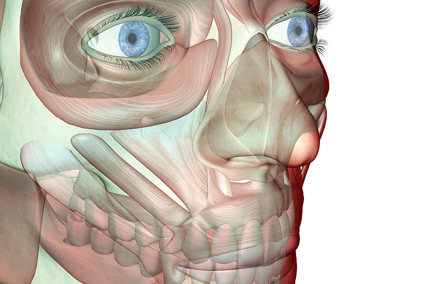 The Musculoskeleton Of The Face Digital Art by Medicalrf.com