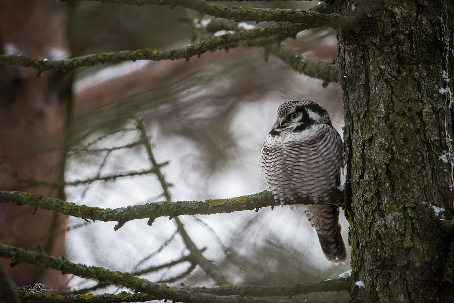 The Northern Hawk Owl Perching On A Pine Branch In The Wood Photograph
