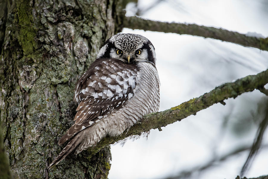The Northern Hawk Owl Perching On A Pine Branch Photograph