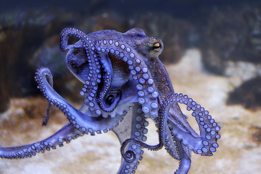The Octopus 2 Photograph