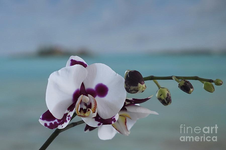 The Orchid by Jan Daniels
