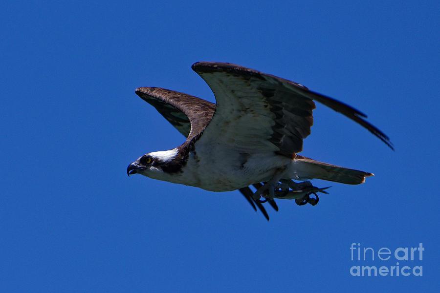 The Osprey Catch Photograph