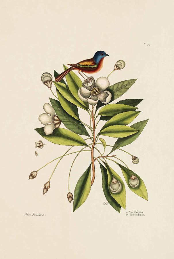 Mark Catesby Painting - The Painted Finch  The Loblolly Tree  The Natural History Of Carolina  by Mark Catesby