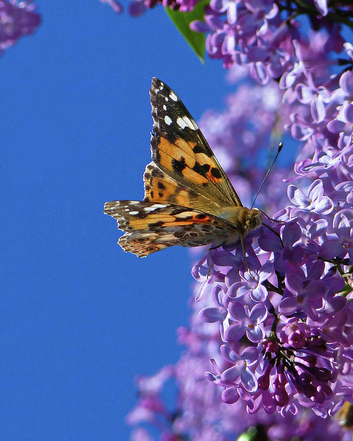 The Painted Lady by Darren Weeks