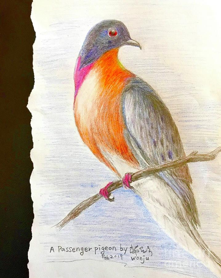 Passenger Pigeon Drawing - The Passenger Pigeon  by Wonju Hulse