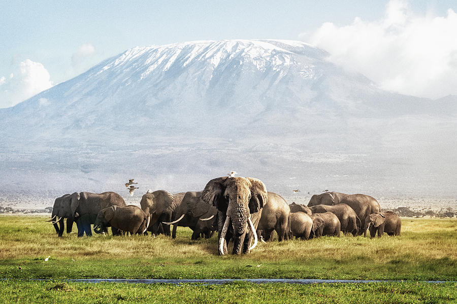 The Patriarch of Amboseli by Susan Schmitz