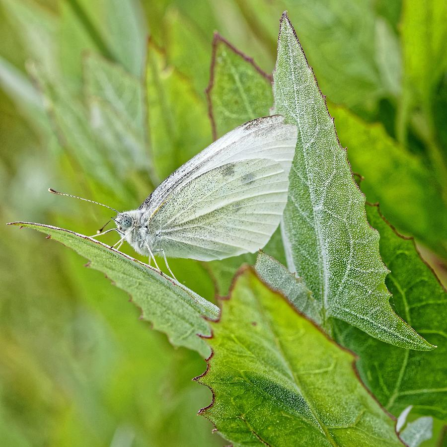 The Perfect Pet - Cabbage Butterfly by KJ Swan