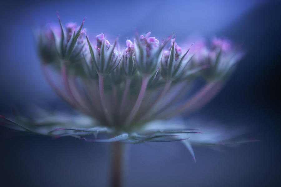 The Pink Queen Photograph