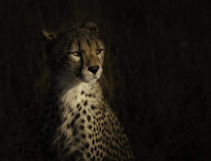 Cheetah Photograph - The Portrait Of A Cheetah by Bing Li