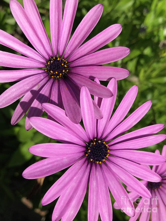 The Prettiest Of Pink Flowers Photograph By Peta Jane Photographs