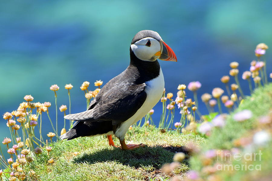 The Puffin  by Joe Cashin
