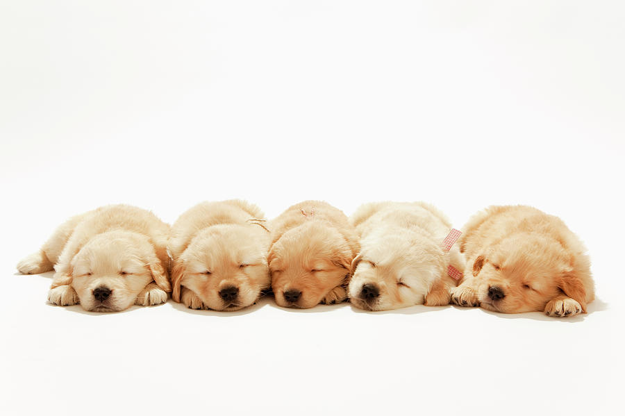 The Puppies Of The Golden Retriever Photograph by Ultra.f