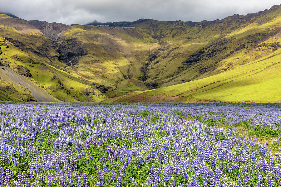 The Purple Fields of Iceland by Pierre Leclerc Photography