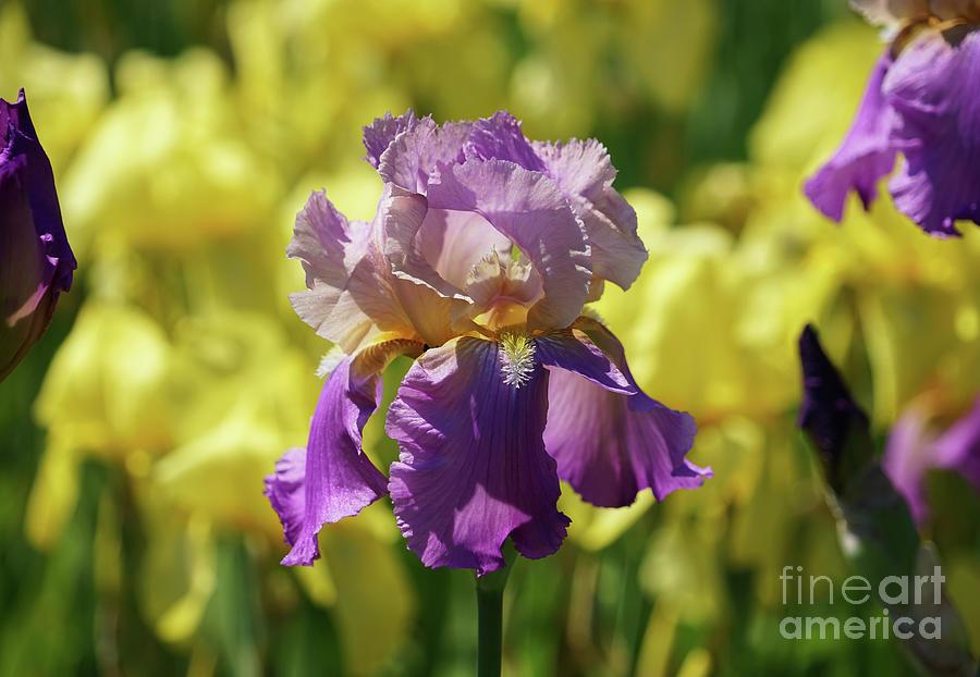 The Rainbow of Irises by Rachel Cohen