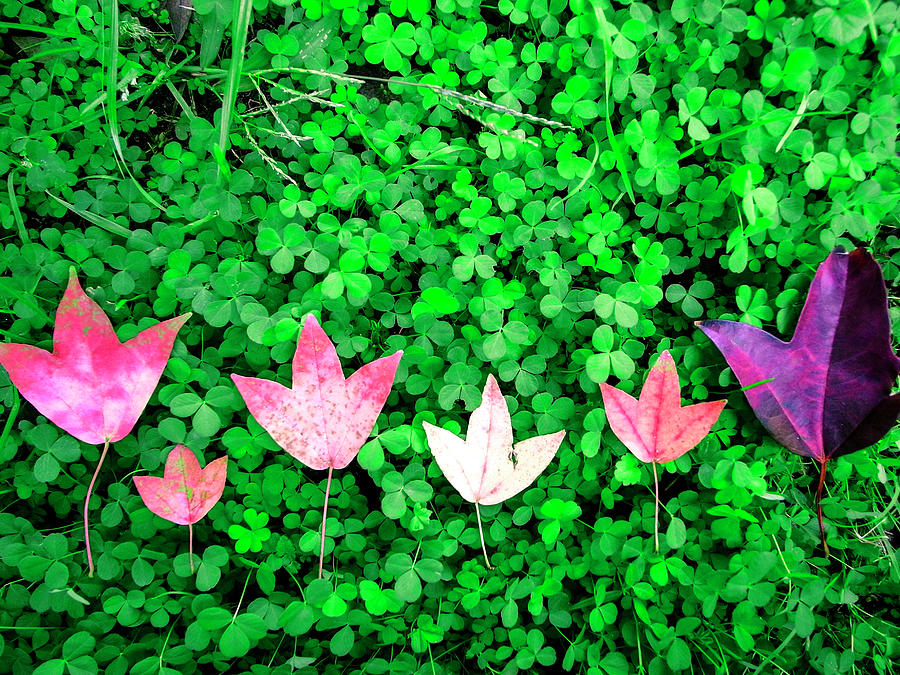 The Red Maple Leaf On A Green Clover Photograph by Photographer, Loves Art, Lives In Kyoto