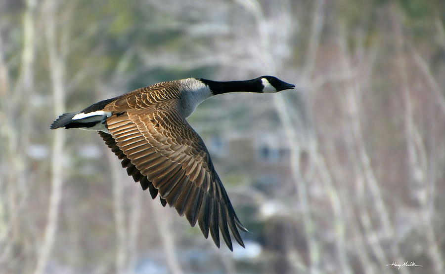 The Returning Canada Geese by Harry Moulton